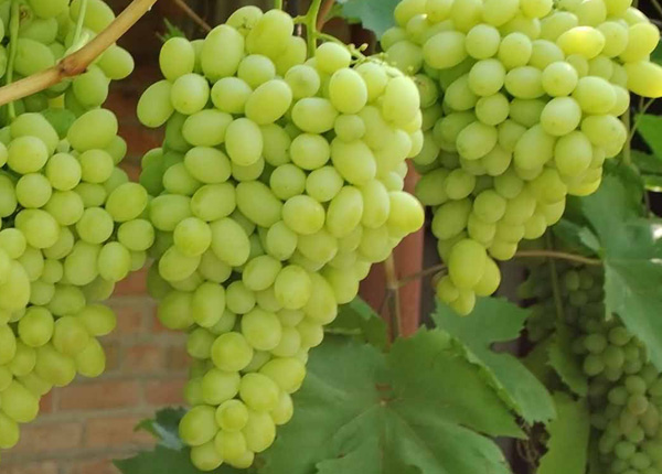 Виноград сорту Плевен