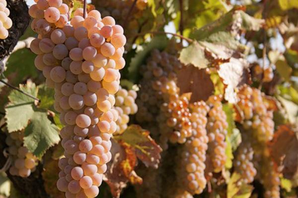 """Сорт винограду """"Ркацителі"""""""