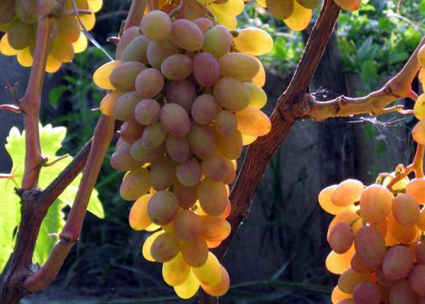 Сорт винограду «Румба»
