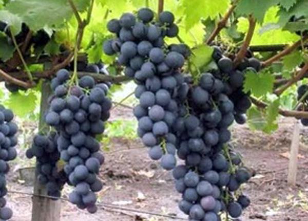 Сорт винограду «Страшенський»