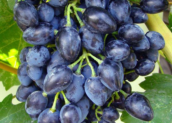 Сорт винограду «Вікінг»