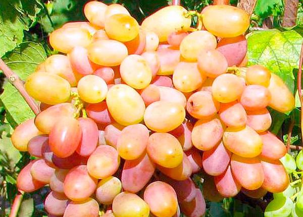 Сорт винограду «Віктор»