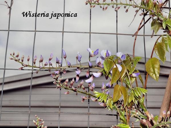 wisteria-japonica.jpeg (138.11 Kb)