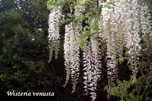 wisteria-venusta.jpg (112.52 Kb)