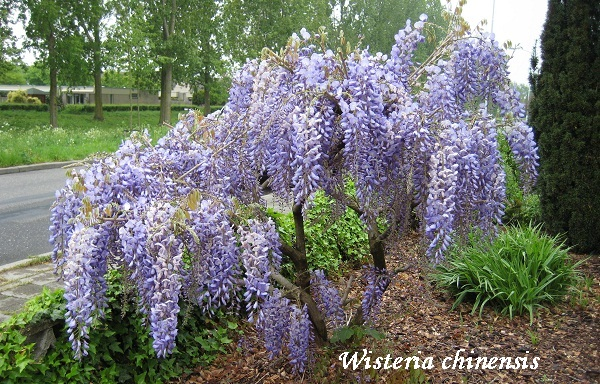 wisteria_chinensis.jpg (180.97 Kb)