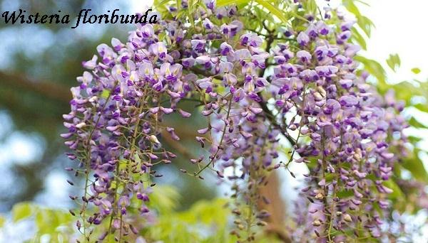 wisteria_floribunda.jpg (112.33 Kb)