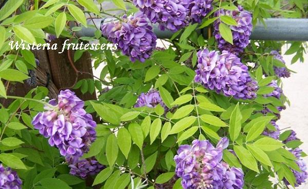 wisteria_frutescens.jpg (144.51 Kb)