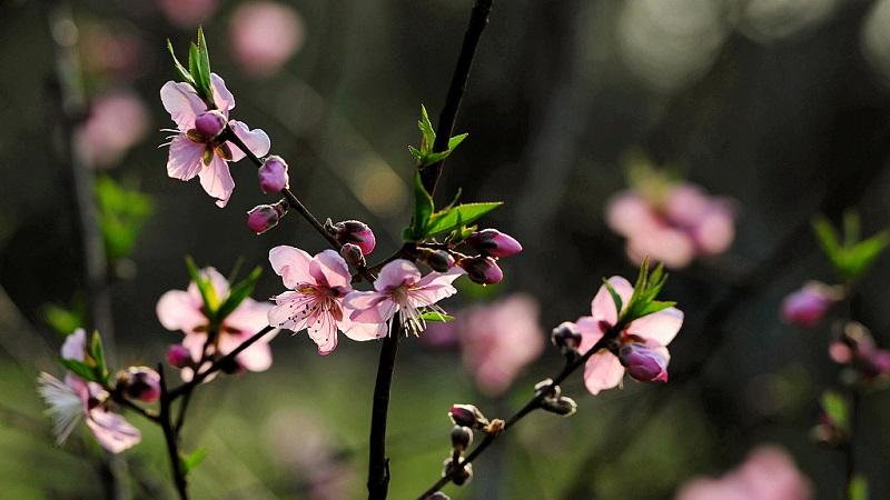 Як цвіте персик?