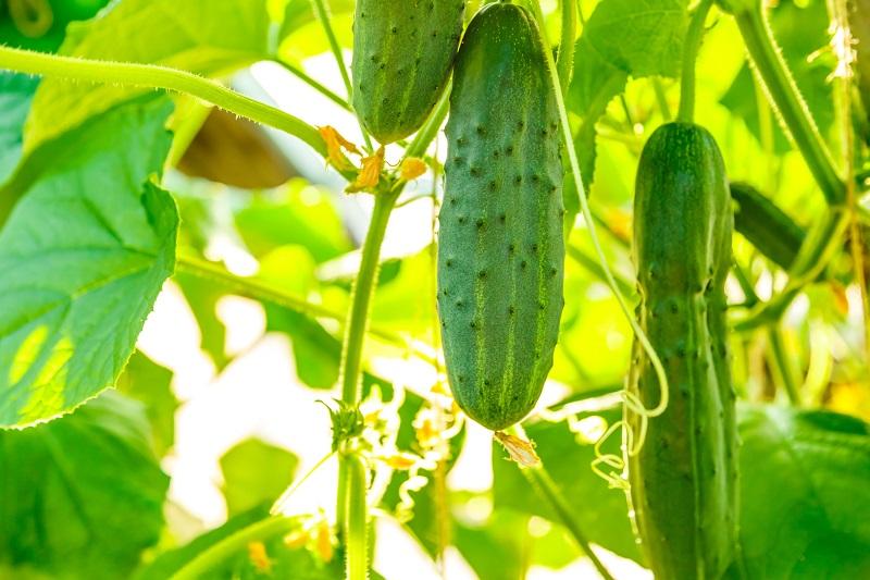 Як правильно поливати огірки
