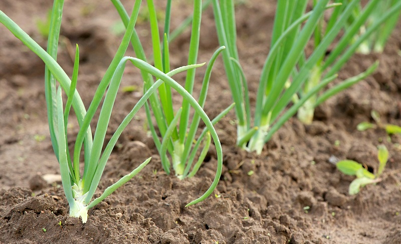 Коли і як садити цибулю, вирощування, догляд