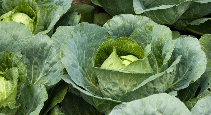 Коли садити капусту, вирощування, догляд