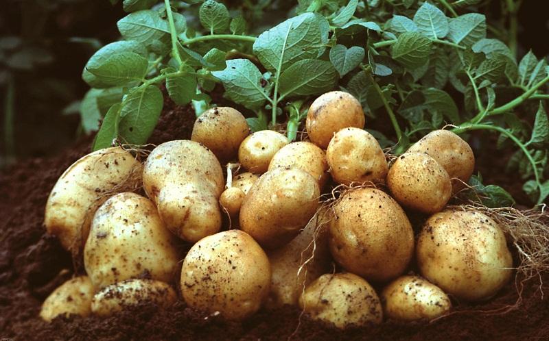 Коли садити картоплю, вирощування, догляд