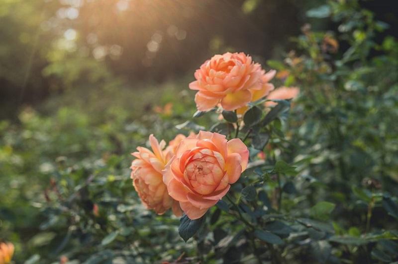 Коли  та як садити троянди