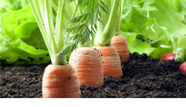 Коли сіяти моркву, буряк. Вирощування. Догляд