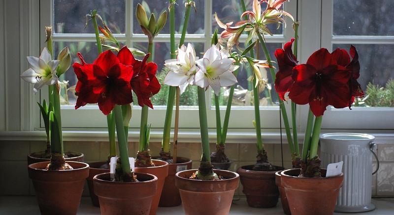 Чому не цвіте амариліс