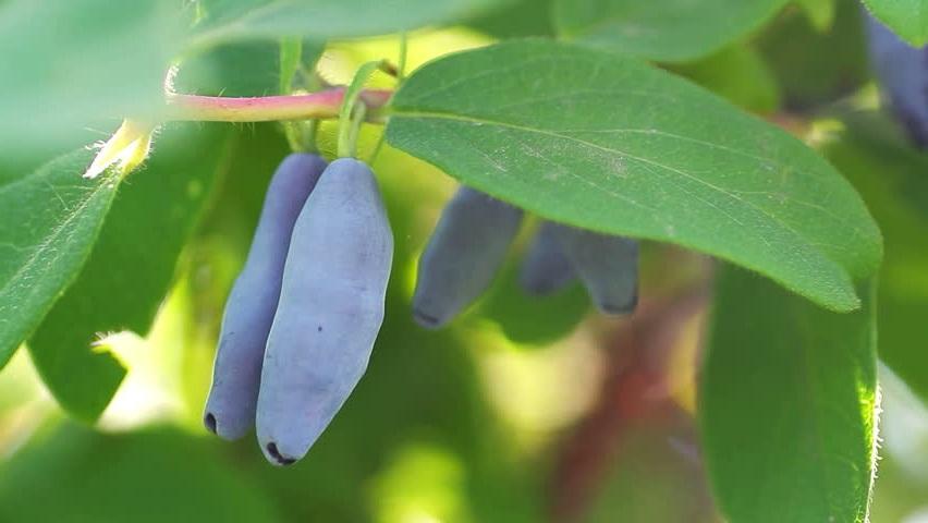 Жимолость їстівна: висаджування, догляд