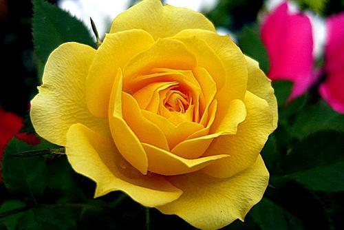 Догляд троянд відкритого грунту