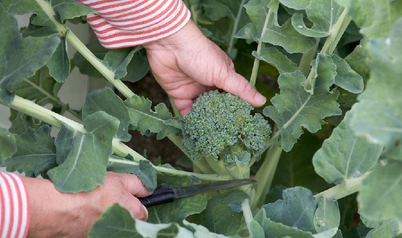 zrizuvannya_brokoli1.jpg (135. <noindex> <script async src=